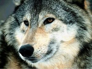 Quel loup nourrissez-vous en vous ?